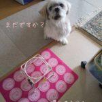14歳シニア犬のシッター