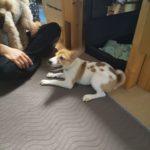 元保護犬のパピートレーニング