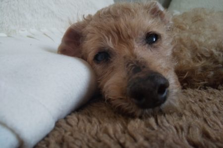 シニア犬のケアレッスン