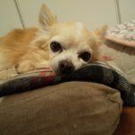 15歳チワワの老犬さん2日間のシッター