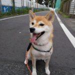 柴犬さんとお散歩