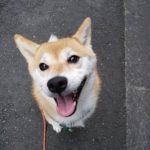 4歳柴犬さんのドッグシッター