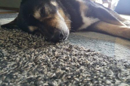 16歳の黒柴くんシニア犬ケア