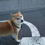4歳柴犬ちゃんとのお散歩