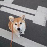 4歳柴犬ちゃんとお散歩