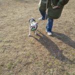 11ヶ月フレブルちゃんのパピートレーニング【犬とすれ違う練習】