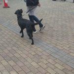 元保護犬黒ラブちゃんのトレーニング