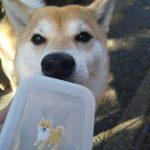 5歳柴犬ちゃんとお散歩