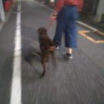 元保護犬ジャーマンポインターくんのトレーニング