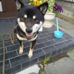 5歳黒柴犬くんのトイレトレーニング