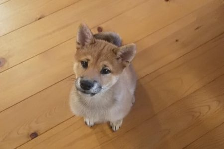 3ヶ月柴犬ちゃんのパピートレーニング