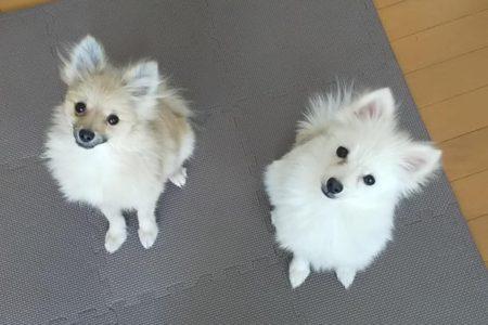 元保護犬ポメ姉妹とポメくんのトレーニング