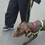 元保護犬ポインターくんのトレーニング