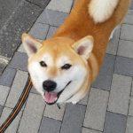 5歳柴犬ちゃんのシッター