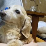 シニア犬ケア〈16歳のダックスちゃん〉