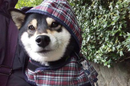 ドッグシッター〈2歳黒柴犬ちゃん〉